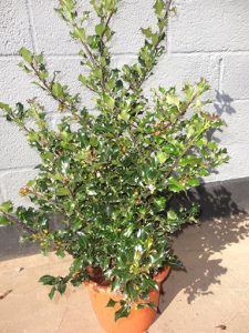 Ilex Blue Angel a
