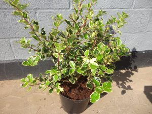 Ilex Madame Briot a